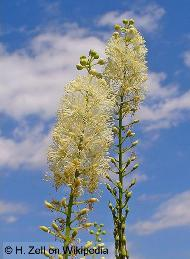 Black Cohosh Root for  Menopause Symptoms